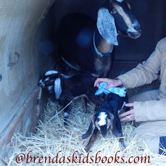 Goats and kidding